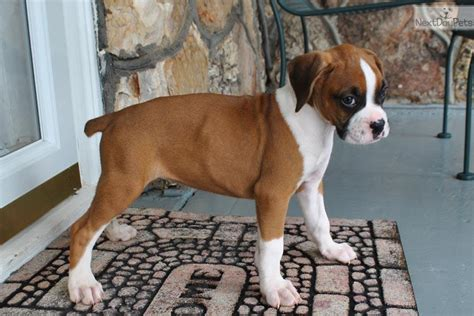fawn boxer puppies flashy fawn boxer puppies www pixshark images galleries with a bite