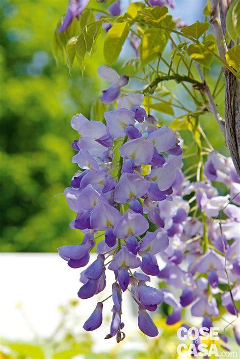 foto glicine in fiore wisteria glicine cose di casa