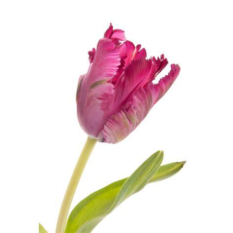 dark purple parrot tulip parrot tulips tulips types