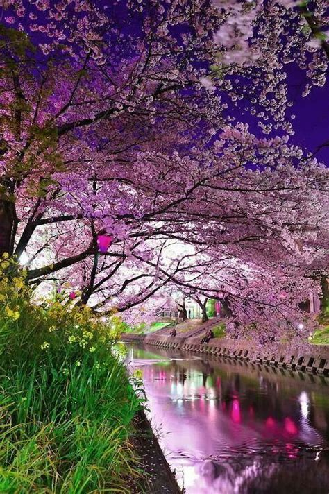 when did japan give us cherry blossoms cherry blossom river kyoto japan architecture doors