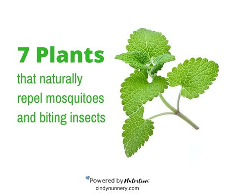 7 plants that naturally repel mosquitoes and biting insects powered by nutrition