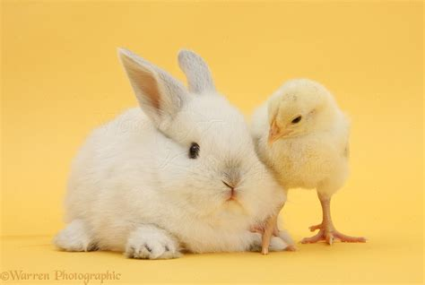 White rabbit and bantam chick on yellow background photo