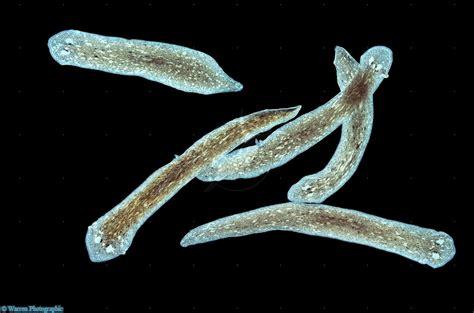 flatworm in platyhelminth flatworms invertebrates