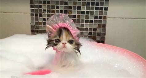 cat in bathtub you will never see anything as cute as this cat wearing a
