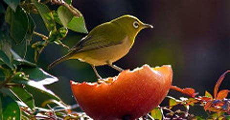 Makanan Burung Pleci Aikguan makanan untuk pleci archives burung hobi