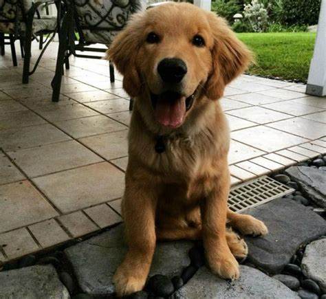 golden retriever how to take care of them golden retriever pup bathes and towels all by himself