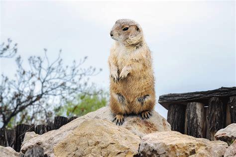 groundhog day free novamov groundhog day usa 28 images punxsutawney phil shoutout