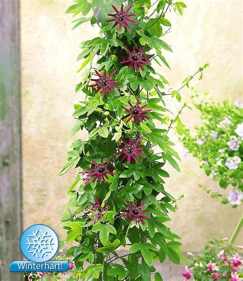 Kletterpflanze Balkon Sonnig Winterhart by Winterharte Passionsblume Quot Ladybirds Quot 1 Pflanze
