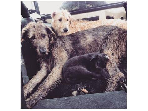 wolf puppies for sale in wolf puppies for sale kusa registered bryanston