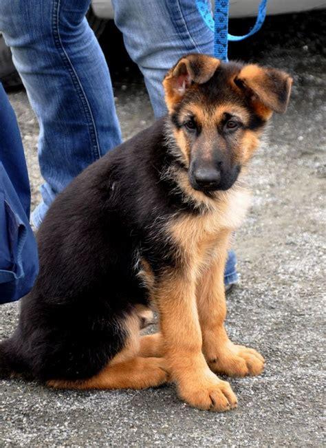 australian german shepherd puppy 25 best ideas about australian german shepherd on blue merle australian