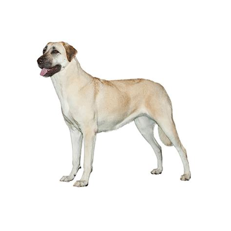 anatolian dogs purina