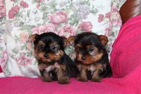 yorkie puppies for sale sydney yorkie puppies for sale adoption from sydney metro new south wales adpost