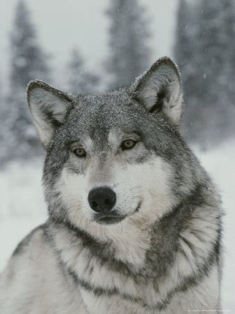 can dogs die from chocolate could chocolate kill a wolf random answers fanpop