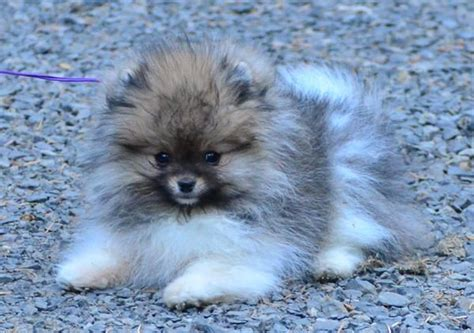 pomeranian oregon 25 best ideas about blue chihuahua on haired chihuahua puppies