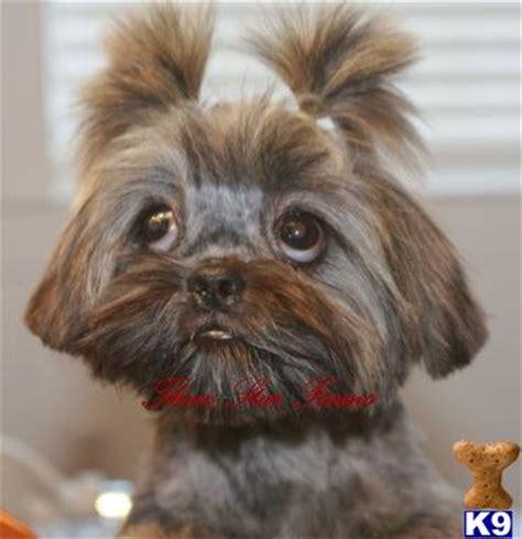 brindle shih tzu puppies shih tzu puppy for sale akc brindle shih tzu 7 years