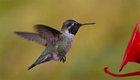 anna s hummingbird in sauk county wisconsin on october 21