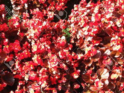 Tanaman Begonia Iron Cross 30 jenis tanaman hias untuk taman dinding vertikal beserta