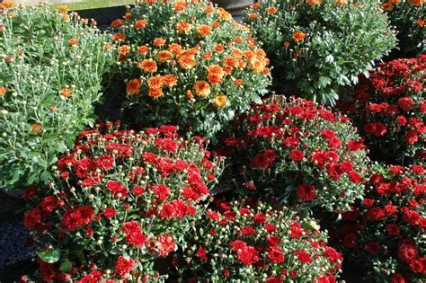 fall garden mums privacy policy site map
