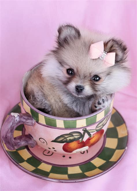 teacup dogs pomeranian for sale gorgeous teacup pomeranian puppies for sale teacups puppies boutique