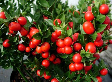 redmond cus ruscus john redmond