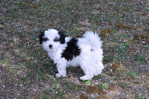 havanese breeders near me havanese for sale for 1 000 near atlanta d24bf62b 22c1