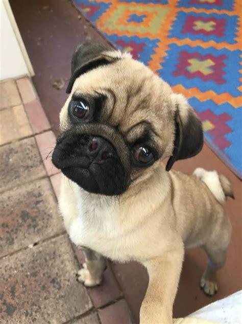 pug rescue in virginia pug rescue driverlayer search engine