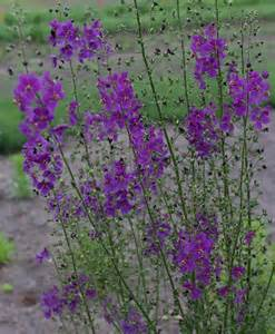 purple flower perennial plants pictures to pin on pinterest pinsdaddy
