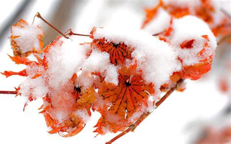 frozen leaves wallpaper frozen leaf wallpapers frozen leaf stock photos