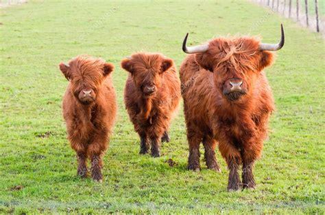 google images yak grazing yak and two baby yaks stock photo 169 saasemen