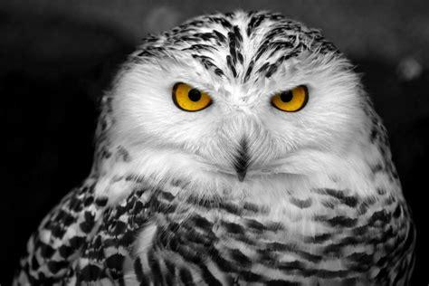 Black And White Owl Wallpaper | white and black owl wallpaper best hd wallpapers