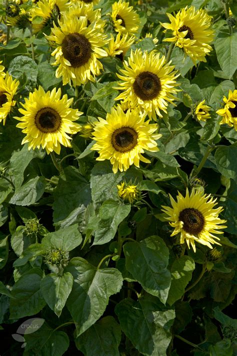 Vase For Plants Buy Sunflower Helianthus Annuus Garden Statement