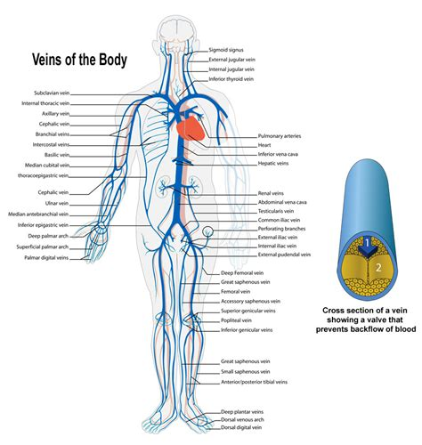 arteries and veins diagram arteries and veins of the anatomy organ