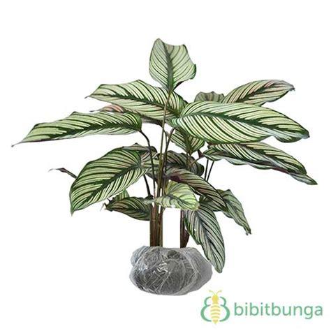 tanaman calathea sisir bibitbunga