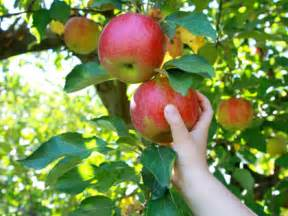 best places for apple picking near atlanta 171 cbs atlanta