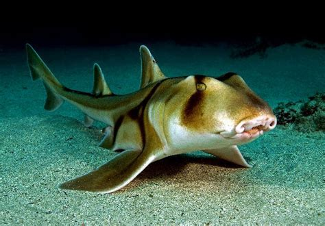 can sharks see color crested bullhead shark chondrichthyes
