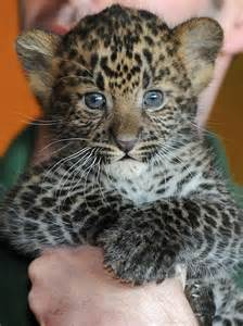 Are Leopards And Jaguars The Same Spot The Differences Between Leopards Jaguars And Cheetahs
