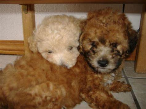 brown maltese puppies puppy dogs brown maltese puppy