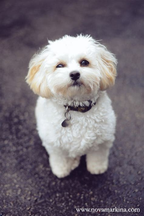 shih poo hair cuts shih poo haircuts my darling shih poo puppy remy animals