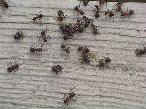 come debellare le formiche in casa identificare e debellare un infestazione di formiche