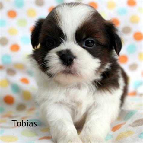 shichon puppies available pin shichon teddybear puppies available now in michigan on
