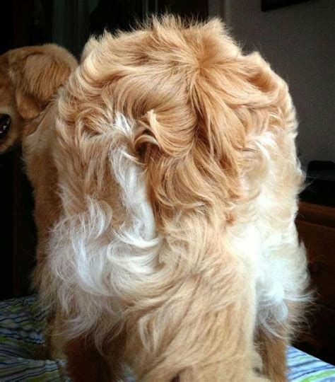 golden retriever feathers 17 best images about fluffy on chow chow piglets and cairn terriers