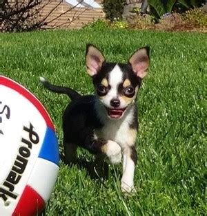 chihuahua puppies for sale in california chihuahua puppies for sale in california chihuahua pups