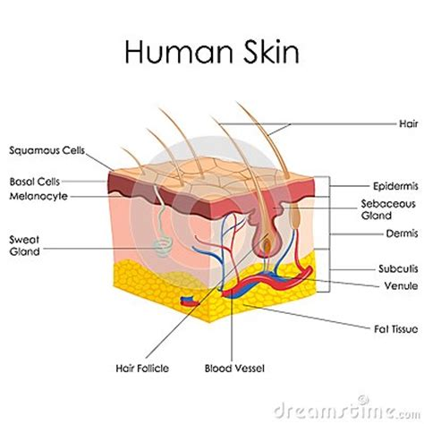 skin structure stock photos royalty free skin structure images depositphotos 174 human skin anatomy royalty free stock photos image 38067278