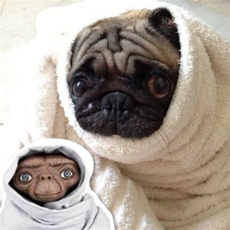 how much are pugs pug lol and i on