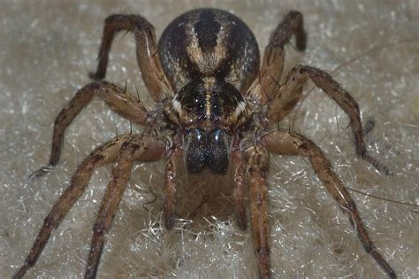 Spider Search Wolf Spider Search In Pictures
