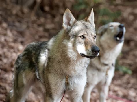 breeds that look like wolves dogs that look like wolves breeds