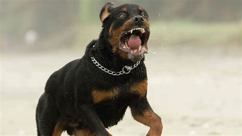 scary rottweiler 31 most awesome rottweiler photos and pictures