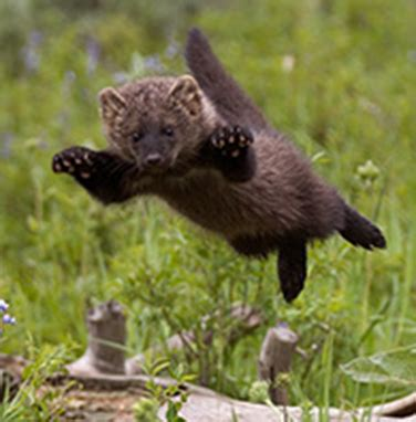 fishers  mustelids weasel family    northern north america