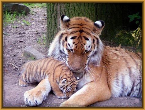 imagenes de tigres leones y leopardos imagenes de tigres y leones bebes archivos imagenes de