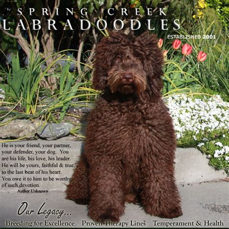 labradoodle puppies for sale oregon 25 best ideas about labradoodle puppies for sale on australian